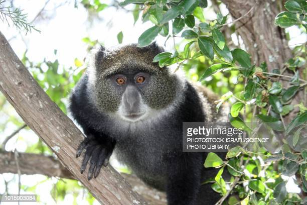 blue monkey - photostock stock pictures, royalty-free photos & images