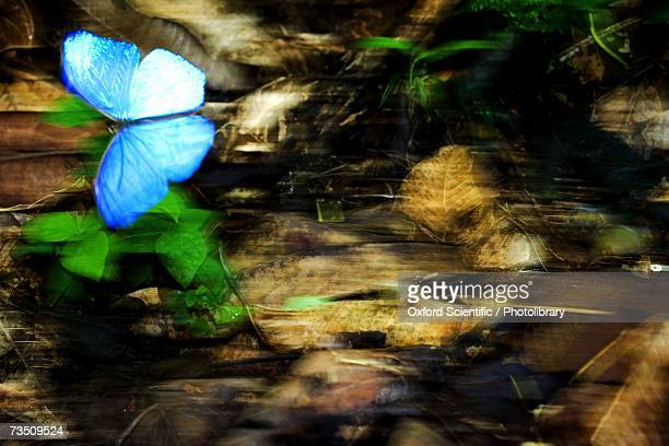 Blue Morpho Butterfly (Morpho cypris) flying near leafy forest floor, Osa Peninsula, Costa Rica
