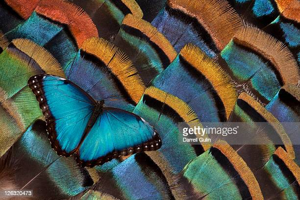 Blue Morpho Butterfly on Oscellated Turkey Feather