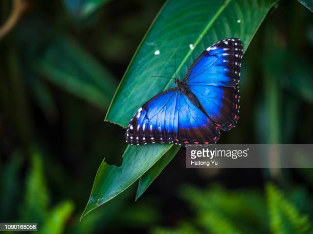 blue morpho butterfly - schmetterling stock-fotos und bilder