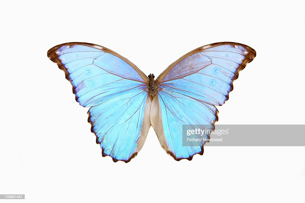 Blue Morpho Butterfly Framed Prints U0026 Canvas Art | Photos.com