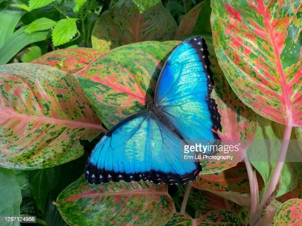 blue morpho butterfly - spread wings stock pictures, royalty-free photos & images