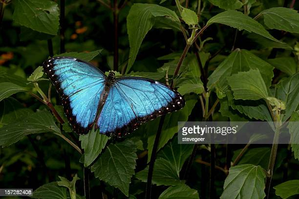blue morpho butterfly - peruvian amazon stock pictures, royalty-free photos & images