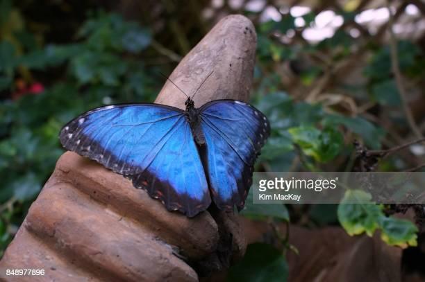 blue morpho butterfly - ストラトフォード・アポン・エイボン ストックフォトと画像