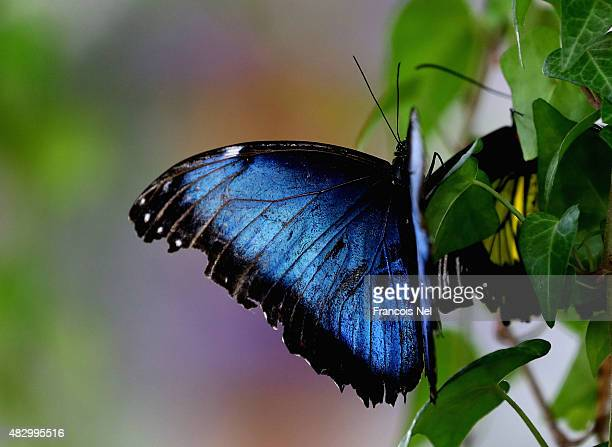 A blue Morpho butterfly rests on a branch at Dubai Butterfly Garden on August 5 2015 in Dubai United Arab Emirates