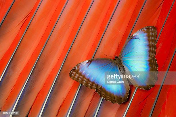 blue morpho butterfly scarlet macaw tail feathers - コンゴウインコ ストックフォトと画像