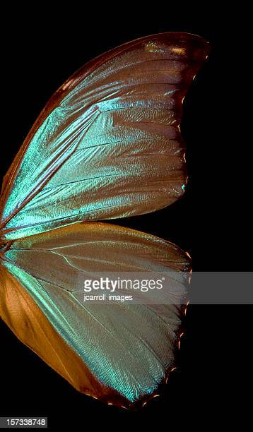 blue morpho butterfly wing - vestigial wing stock pictures, royalty-free photos & images