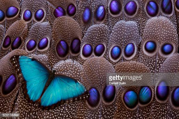 blue morpho resting on tail feather design of the grey's peacock pheasant - pheasant tail feathers imagens e fotografias de stock