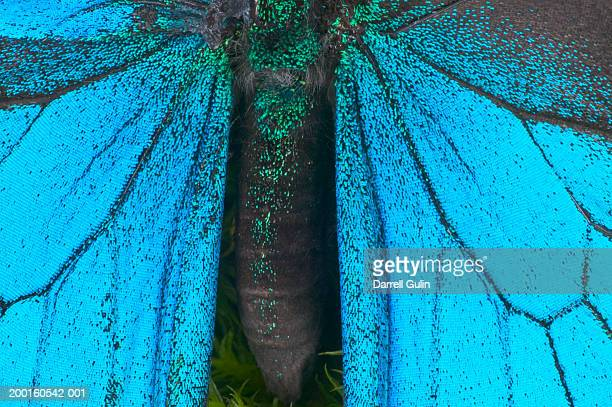 blue mountain swallowtail (papilio ulysses) wings and abdomen, detail - ulysses butterfly stock pictures, royalty-free photos & images