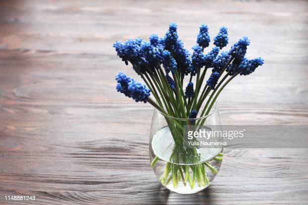 blue muscari - hyacinth in vase with water - 花瓶 ストックフォトと画像