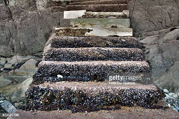 Blue mussels on the steps in Locquirec beach of Brittany region in France