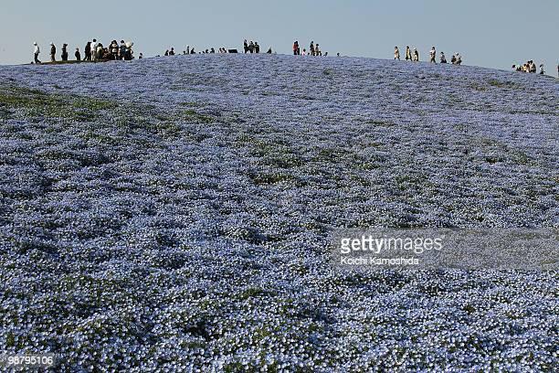 Blue Nemophila flowers bloom during the Golden Week holidays at Hitachinaka Kaihin Park on May 02 2010 in Hitachinaka Ibaraki Japan Millions of...