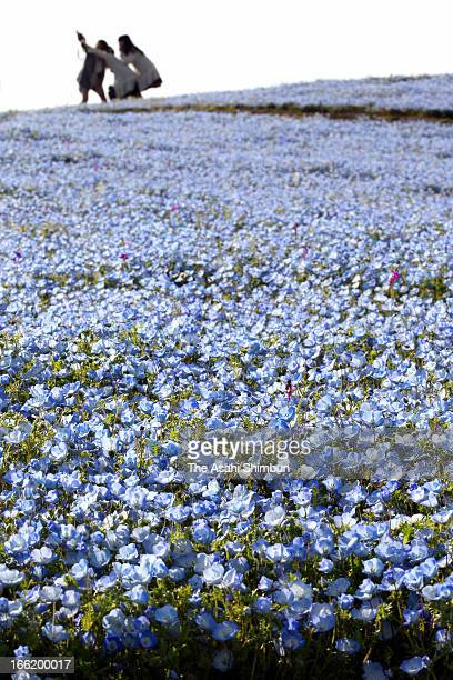 Blue nemophila flowers in full bloom at Uminonakamichi Seaside Park on April 8 2013 in Fukuoka Japan