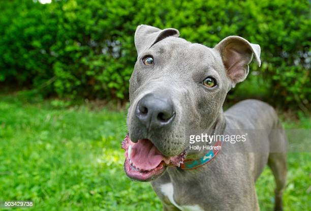 Blue nose pitbull dog