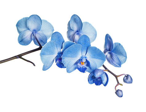 Blue orchid on white background 955633544