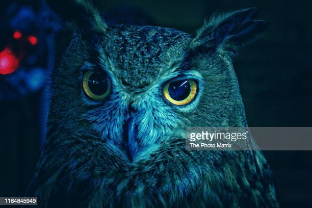 blue owl - owl stock pictures, royalty-free photos & images
