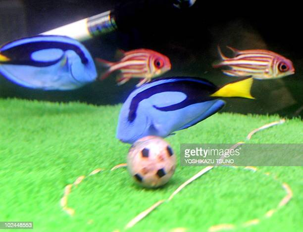 Blue palett surgeon fish and spiny squirrel fish pick at a fishbait football on a football field decorated fishtank at the Hakkeijima Sea Paradise...