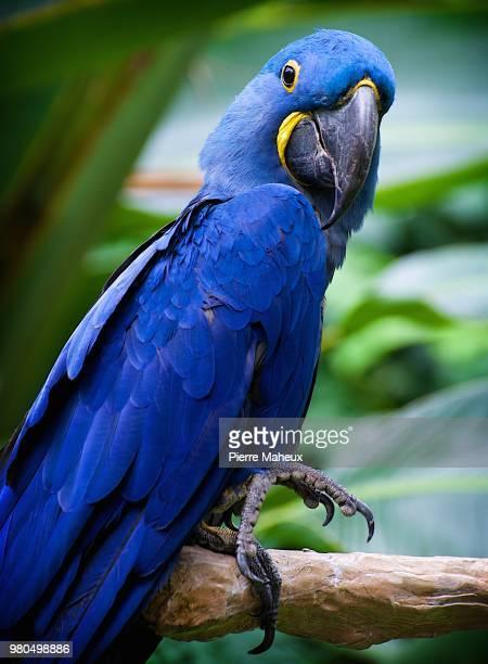blue parrot - arara azul grande imagens e fotografias de stock