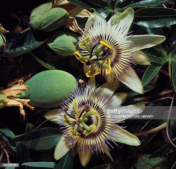 Blue passion flower or Common passion flower Passifloraceae