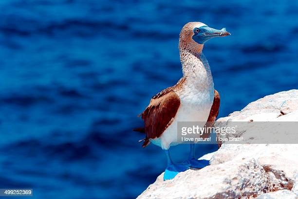 blue paw booby - puerto ayora stock pictures, royalty-free photos & images