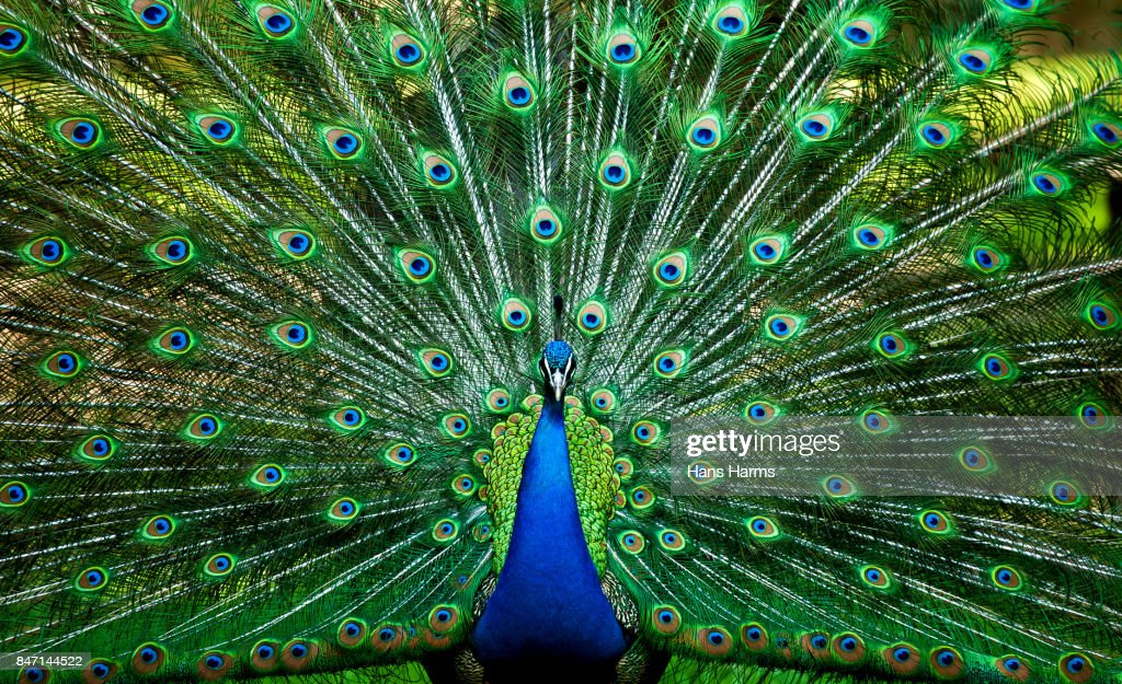 Blue Peacock : Stock Photo