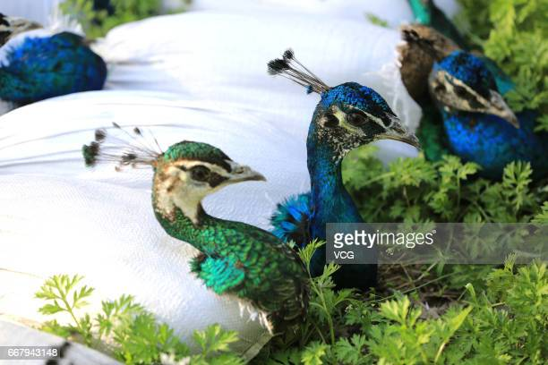 Blue peacocks' feathers are wrapped up with plastic bags by peacock breeders on April 12 2017 in Xiangyang Hubei Province of China Blue peacock...