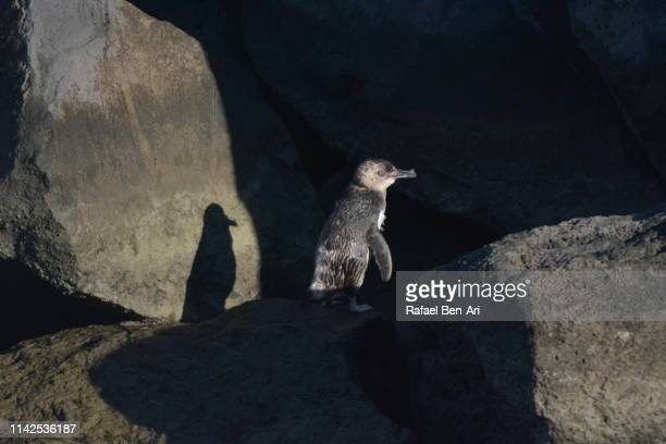 blue penguin in melbourne victoria australia - rafael ben ari stock pictures, royalty-free photos & images