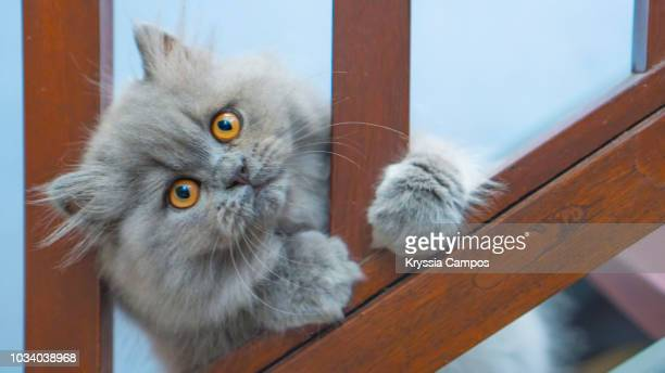 blue persian kitten playing - persian stock photos and pictures