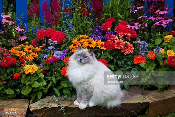blue picket fence our rag doll cat blue - ragdoll cat stock pictures, royalty-free photos & images