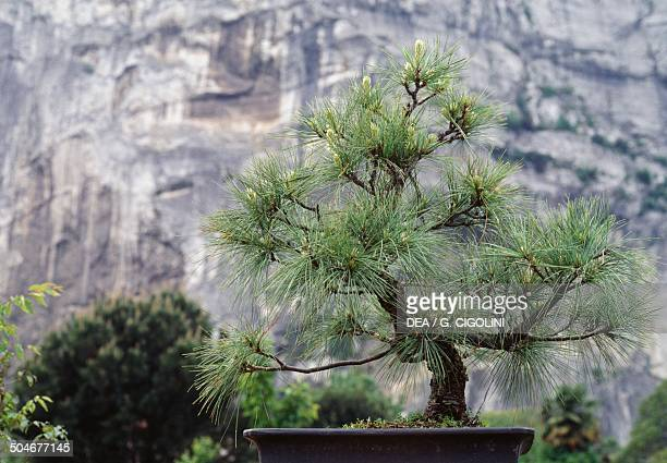 Blue pine bonsai before buds removal Pinaceae