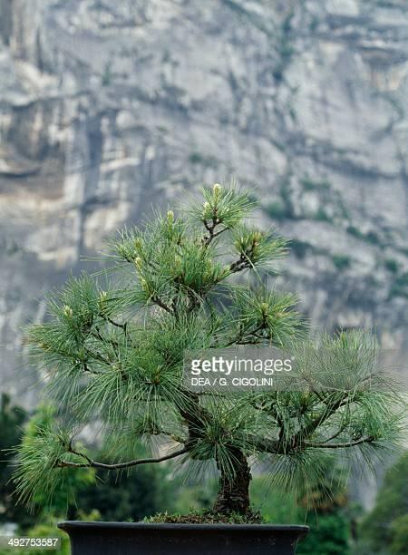 Blue pine Pinaceae