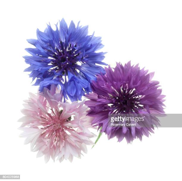 Blue, pink and purple cornflowers from above.