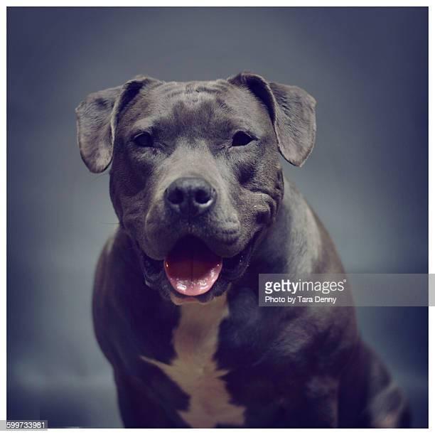 Blue Pitbull on Blue Background