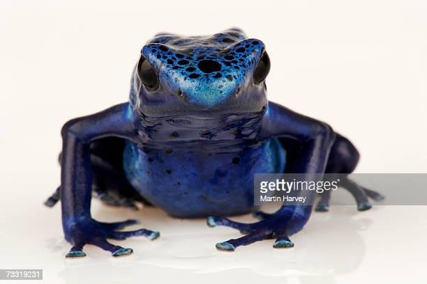 Blue poison arrow frog (Dendrobates azureus), front view
