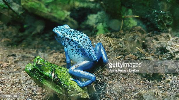 Blue Poison Arrow Frog On Field