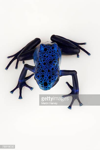 Blue poison arrow frog (Dendrobates azureus), overhead view