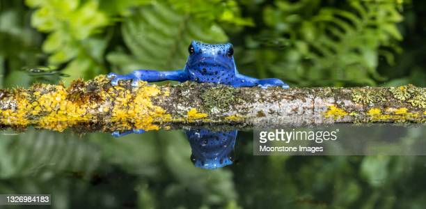 blue poison arrow frog - animal body part stock pictures, royalty-free photos & images