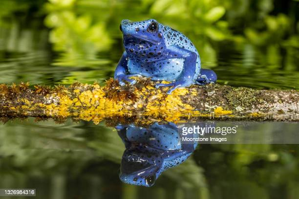 blue poison arrow frog - animal behaviour stock pictures, royalty-free photos & images