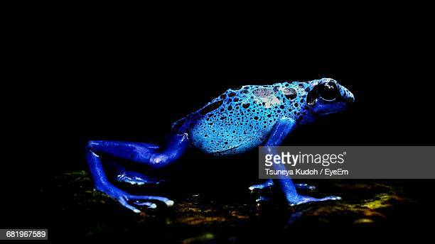 Blue Poison Dart Frog At Forest