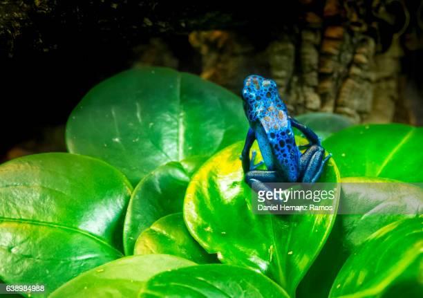 Blue poison dart frog. Dendrobates tinctorius 'azureus'