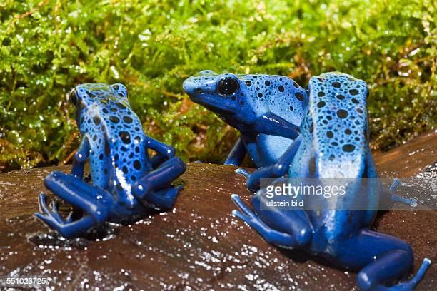 Blue Poison Dart Frog Dendrobates tinctorius azureus Suriname