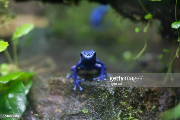 blue poison dart frog - liyao xie stock pictures, royalty-free photos & images