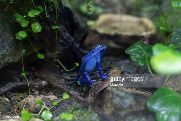 blue poison dart frog - liyao xie stock-fotos und bilder