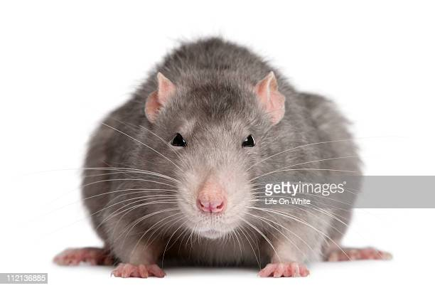 blue rat - rat stock photos and pictures