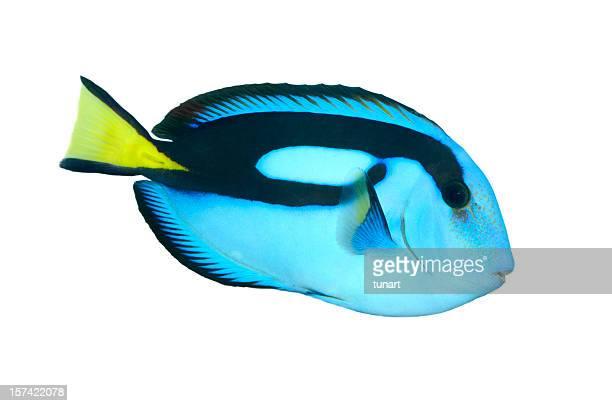 débardeur poisson bleu royal - poissons exotiques photos et images de collection