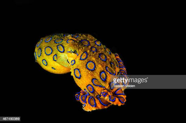 blue ringed octopus - octopus stock pictures, royalty-free photos & images