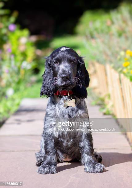 blue road show type cocker spaniel puppy - cocker spaniel stock pictures, royalty-free photos & images