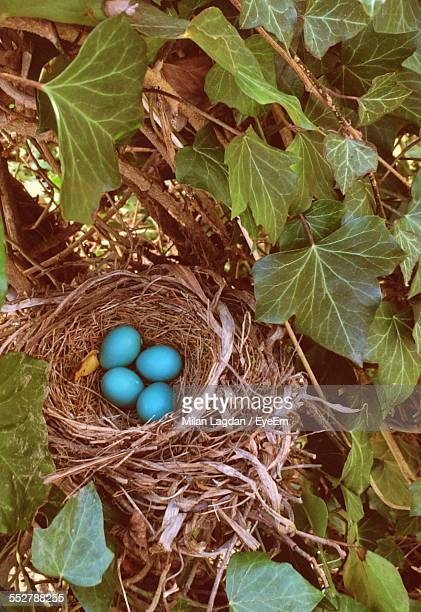 Blue Robins Eggs In Nest