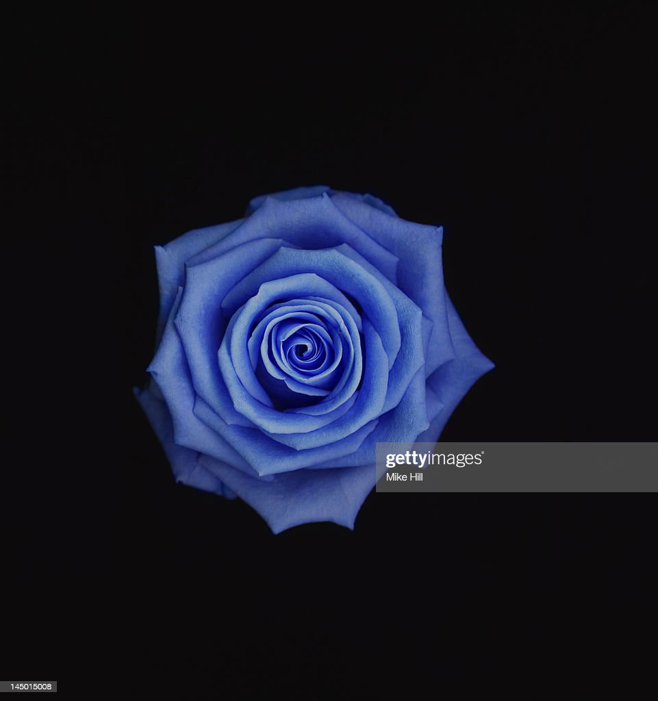 Blue rose (Rosa sp.) against a black background : Stock Photo