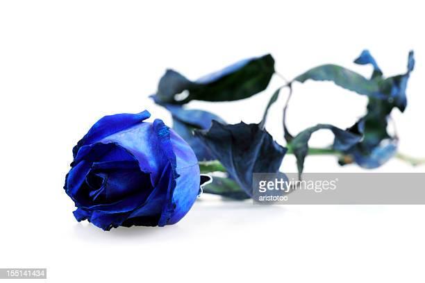 Blaue Rose, isoliert auf weiss